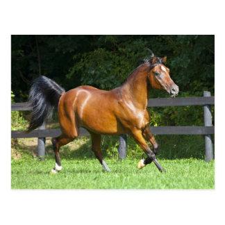 Polish Arabian Horse Trotting Postcard