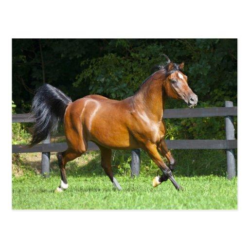 Polish Arabian Horse Trotting Postcards