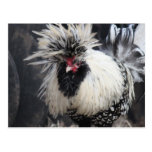 Polish Crested Rooster Post Card