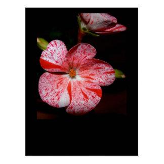 Polka-dot geranium postcard