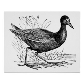 Polla de agua común póster