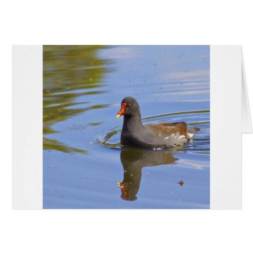 Polla de agua común tarjeta