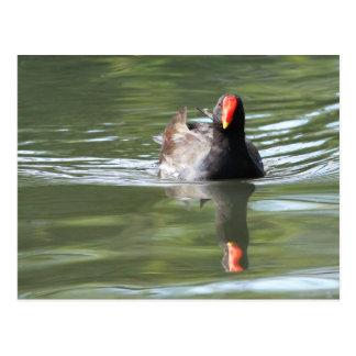 Polla de agua tarjeta postal