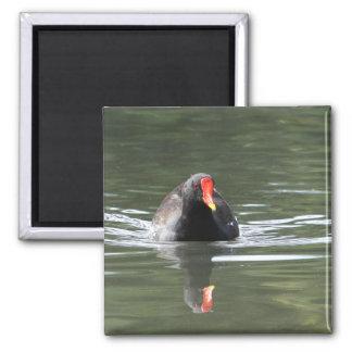 Polla de agua y reflexión imán cuadrado