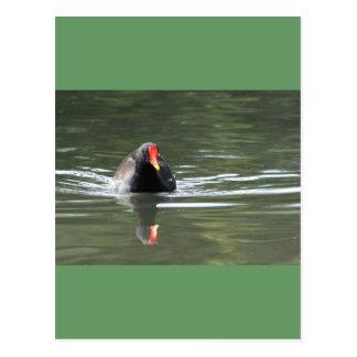 Polla de agua y reflexión postales