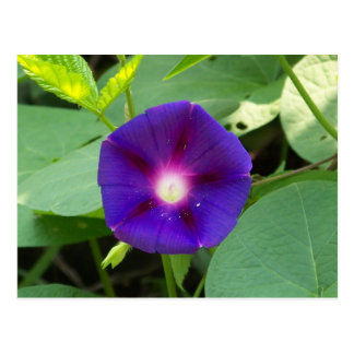 Pollen on Morning Glory Postcard