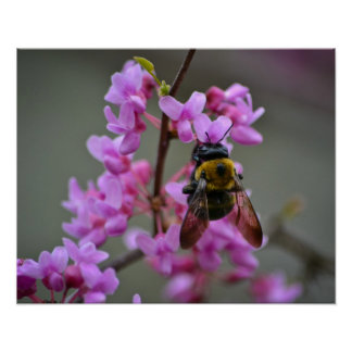 Pollination of the redbud poster