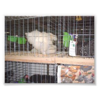 Pollo blanco de largo emplumado en una jaula impresiones fotográficas