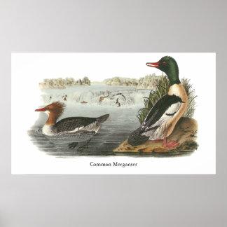 Pollo de agua común Juan Audubon Impresiones