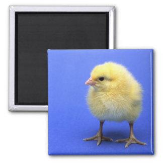 Pollo del bebé imán cuadrado