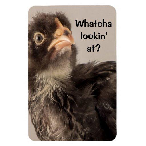 Pollo del bebé que frunce el ceño con las plumas n rectangle magnet