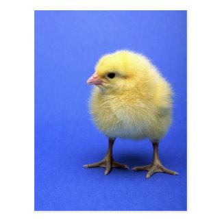 Pollo del bebé tarjeta postal