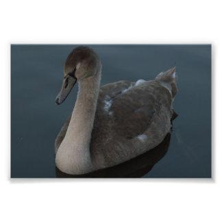 Pollo del cisne del cisne mudo fotografía