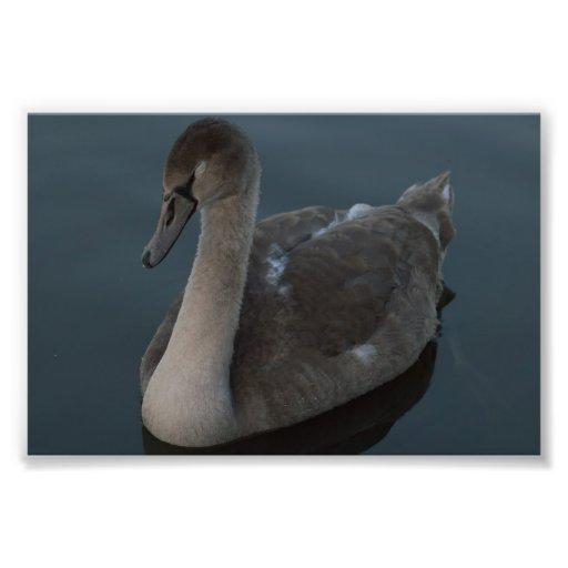 Pollo del cisne del cisne mudo arte fotográfico