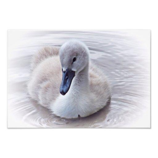 Pollo del cisne del cisne mudo cojinete