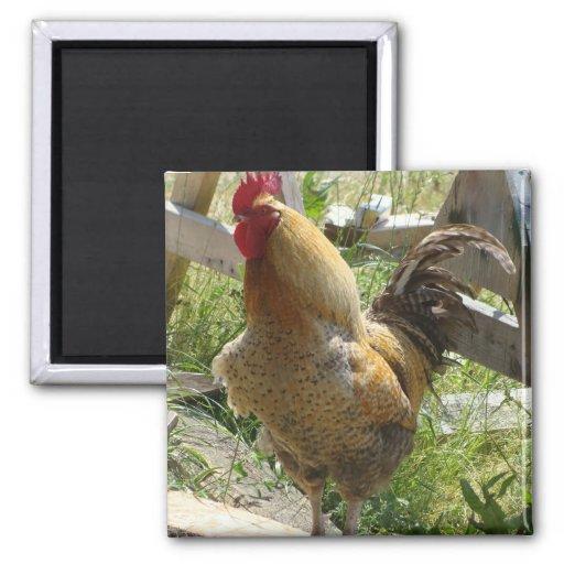 Pollo del corral iman de nevera