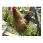 Pollo del corral tarjetas postales