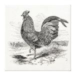 Pollo del gallo de las aves de Kulm del vintage - Impresión De Lienzo