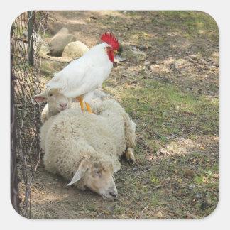 Pollo que se sienta en los pegatinas de una oveja pegatina cuadrada