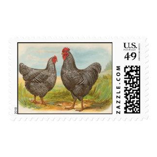 Pollos barrados vintage de Plymouth Rock Franqueo