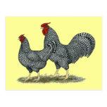 Pollos de Dominique Tarjeta Postal