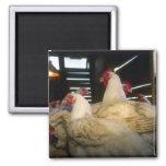 Pollos de la carne imán