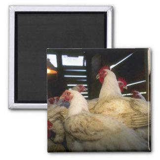Pollos de la carne imán cuadrado