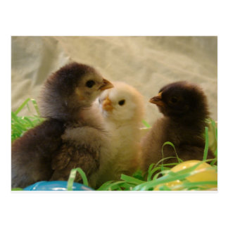 Pollos de Pascua Postales