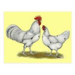 Pollos del blanco de Austra Postales
