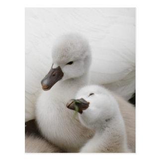 Pollos del cisne del cisne mudo postal