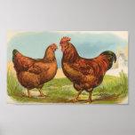 Pollos del rojo de Graham - de Rhode Island Poster