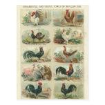 Pollos del vintage -- Postal ornamental de las ave