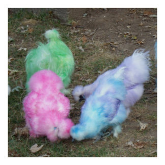 Pollos teñidos lazo de Silkie en los colores en Póster