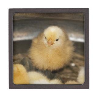 Polluelo amarillo mullido del bebé cajas de regalo de calidad