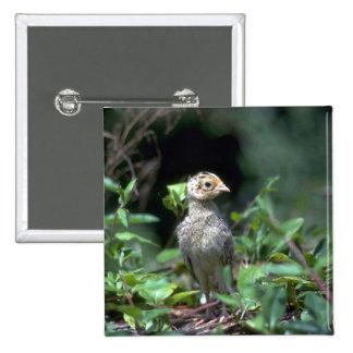 polluelo Anillo-necked del faisán (cerca de una se Pin