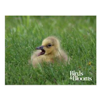 Polluelo canadiense del ganso postal
