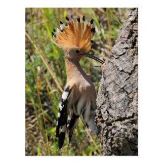 Polluelo de alimentación del Hoopoe Tarjetas Postales