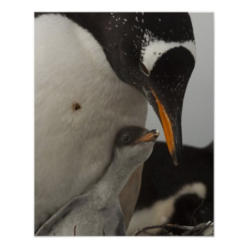 Polluelo de alimentación del pingüino de Gentoo (P Impresiones