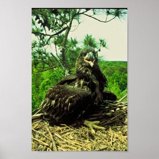 Polluelo de Eagle calvo Impresiones