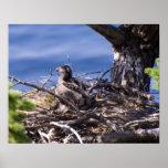 Polluelo de Eagle calvo - impresiones de la bella