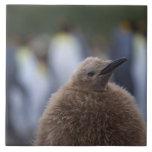 Polluelo de rey pingüino (patagonicus del Aptenody Azulejo Cuadrado Grande