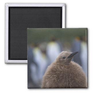 Polluelo de rey pingüino (patagonicus del Aptenody Imán Cuadrado