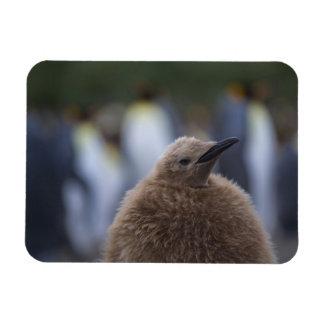 Polluelo de rey pingüino (patagonicus del Aptenody Imanes