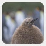 Polluelo de rey pingüino (patagonicus del pegatina cuadrada