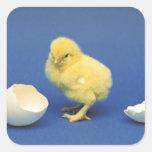 Polluelo del bebé pegatina cuadrada