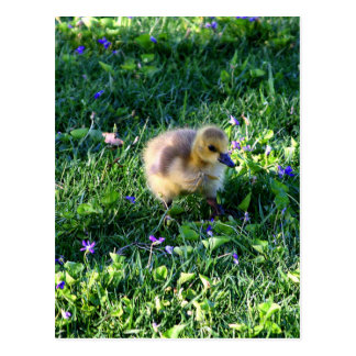 Polluelo del ganso de Canadá en hierba con las Postal