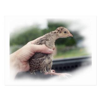 Polluelo del pavo del bebé que es sostenido por tarjetas postales