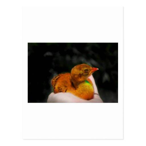 Polluelo del pavo real del bebé a disposición, postal