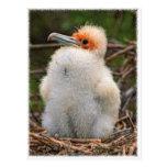Polluelo las Islas Galápagos Tarjetas Postales