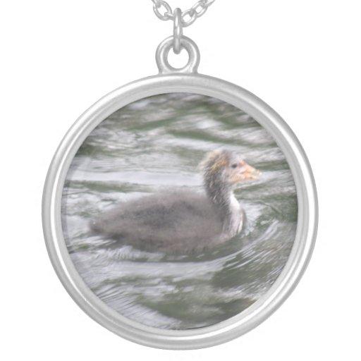 Polluelo lindo de la focha en el collar picado de